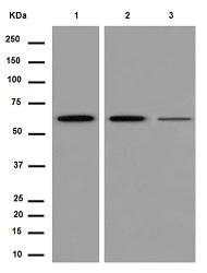 Western blot - Anti-PGM1 [EPR15240] antibody (ab188869)