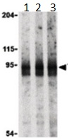 Western blot - Anti-TRIAD3 antibody - N-terminal (ab189113)