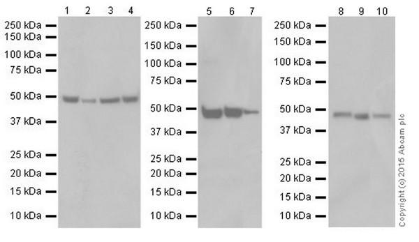 Western blot - Anti-ENO1 + ENO2 + ENO3 antibody [EPR18422] (ab189892)