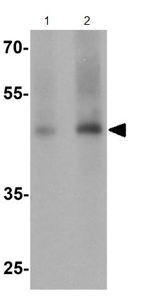 Western blot - Anti-GDF1 antibody - N-terminal (ab189950)
