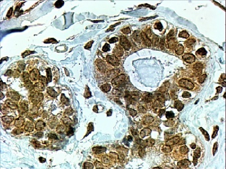 Immunohistochemistry (Formalin/PFA-fixed paraffin-embedded sections) - Anti-CYP7B1 antibody (ab19043)
