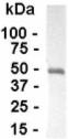 Western blot - Anti-Antithrombin III antibody (ab19105)