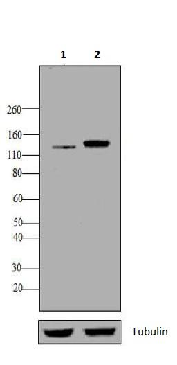 Western blot - Anti-N Cadherin antibody [8C11] (ab19348)