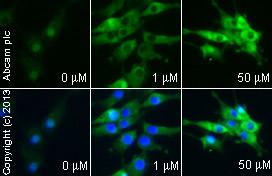 Immunocytochemistry/ Immunofluorescence - Anti-PPAR gamma antibody (ab19481)