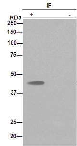 Immunoprecipitation - Anti-WDR77 [EPR10709(2)] antibody (ab190361)