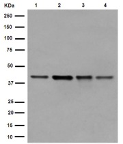 Western blot - Anti-WDR77 [EPR10709(2)] antibody (ab190361)