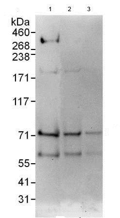 Western blot - Anti-MDMX antibody (ab190364)