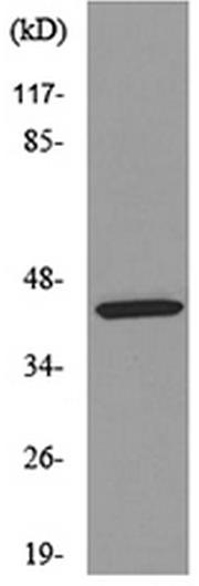 Western blot - Anti-Killer cell immunoglobulin-like receptor 3DL3 antibody (ab190822)