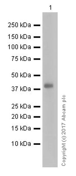 Western blot - Anti-Pentraxin 3 antibody [EPR18678-105] (ab190838)