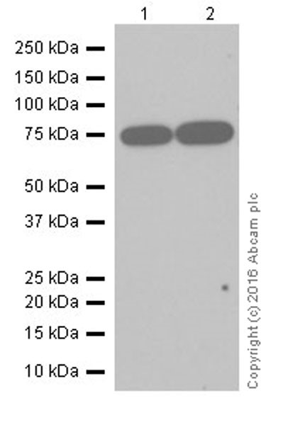Western blot - Anti-BS69 antibody [EP18343] (ab190890)