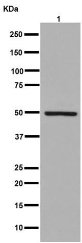 Western blot - Anti-ZNF101 [EPR14786(2)] antibody - N-terminal (ab191070)
