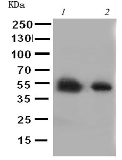 Western blot - Anti-Glucose Transporter 8 antibody (ab191269)