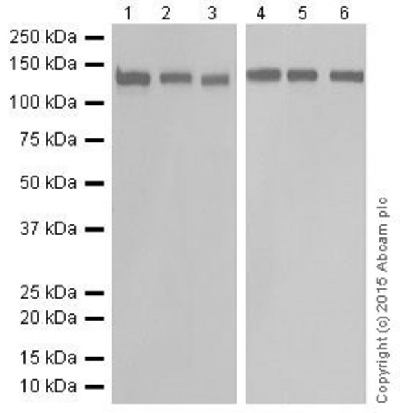 Western blot - Anti-RNF40 antibody [EPR18511] (ab191309)