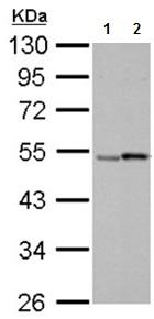 Western blot - Anti-Retinoic Acid Receptor gamma 2 antibody (ab191368)