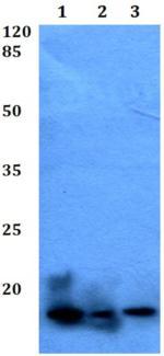 Western blot - Anti-RhoF antibody (ab191534)