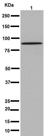 Western blot - Anti-TSPEAR antibody [EPR15505] (ab192023)