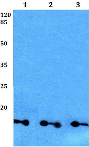 Western blot - Anti-GBG8 antibody (ab192365)