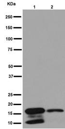 Western blot - Anti-DAP13 antibody [EPR15867] (ab192607)