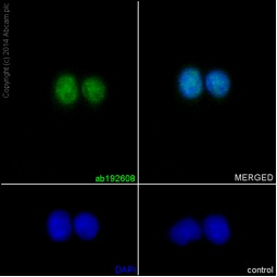 Immunocytochemistry/ Immunofluorescence - Anti-Retinoic Acid Receptor gamma antibody [EPR15901] (ab192608)