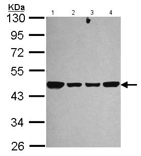 Western blot - Anti-NDUFS2 antibody (ab192764)
