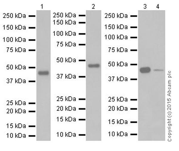Western blot - Anti-Pellino 1 antibody [EPR19282] (ab192833)