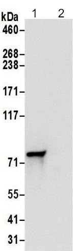 Immunoprecipitation - Anti-DYNC1I2 antibody - N-terminal (ab192905)