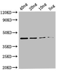 Western blot - Anti-metC antibody (Biotin) (ab192953)