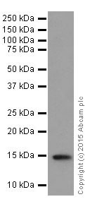 Western blot - Anti-Histone H3 (tri methyl K27) antibody [EPR18607] (ab192985)