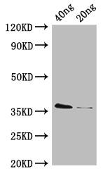 Western blot - Anti-D-cysteine desulfhydrase antibody (HRP) (ab193013)