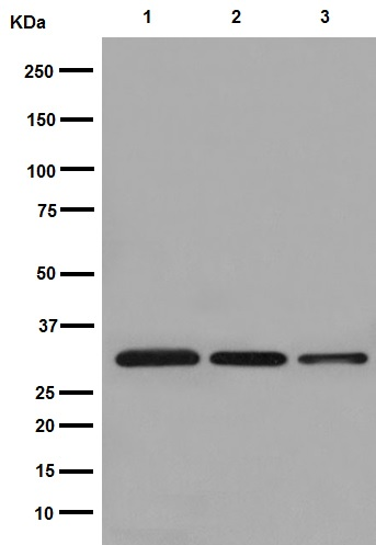 Western blot - Anti-OR1A1 antibody [EPR16433] (ab193354)