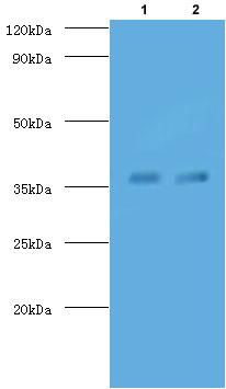 Western blot - Anti-TB Ag85A antibody (FITC) (ab193480)