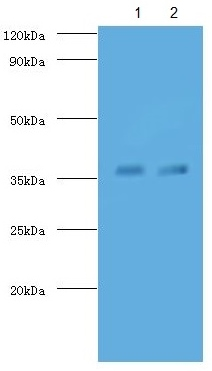 Western blot - Anti-TB Ag85A antibody (Biotin) (ab193509)