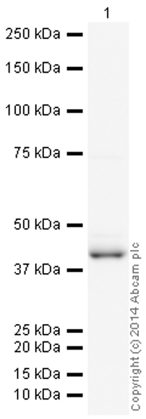 Western blot - Anti-c-Jun antibody [E254] (HRP) (ab193782)