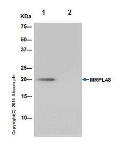 Immunoprecipitation - Anti-MRPL48 antibody [EPR16328] (ab194826)