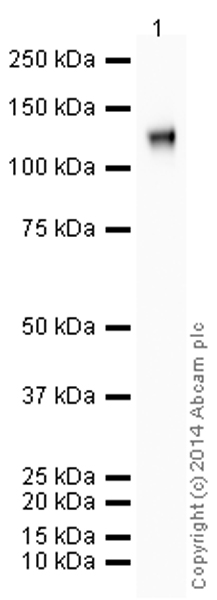 Western blot - Anti-CD34 antibody [EP373Y] (HRP) (ab195017)