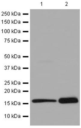 Western blot - Anti-LECT2 antibody [EPR14464(2)] (ab196015)