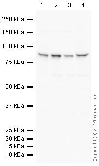 Western blot - Anti-Aconitase 2 antibody [EPR8283(B)] (HRP) (ab198555)