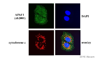Immunocytochemistry/ Immunofluorescence - Anti-APAF1 antibody (ab2001)