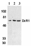 Western blot - Anti-DcR1 antibody (ab2087)