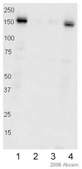 Western blot - Anti-FANCD2 antibody (ab2187)