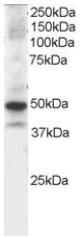 Western blot - Anti-MST4 antibody (ab2249)