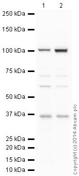 Western blot - Anti-Caspase-2 antibody (ab2251)