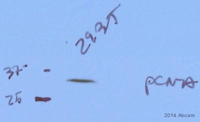 Western blot - Anti-PCNA antibody (ab2426)