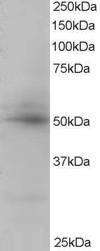 Western blot - Anti-AIBZIP antibody (ab2474)