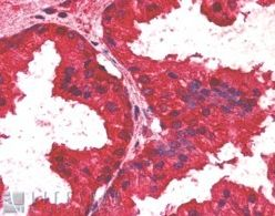 Immunohistochemistry (Formalin/PFA-fixed paraffin-embedded sections) - Anti-AIBZIP antibody (ab2474)