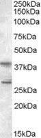 Western blot - Anti-SCAP2 antibody (ab2484)
