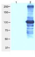Western blot - BRIT1 antibody (ab2612)