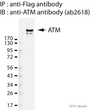 Western blot - ATM antibody [5C2] (ab2618)