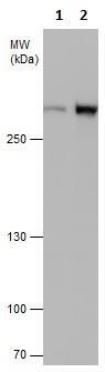 Western blot - Anti-ATM antibody [5C2] (ab2618)
