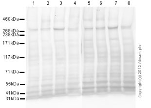 Western blot - Anti-M6PR (cation independent) [2G11] antibody (ab2733)
